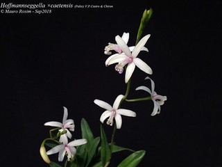 Hoffmannseggella ×caetensis (Pabst) V.P.Castro & Chiron nº 01 a
