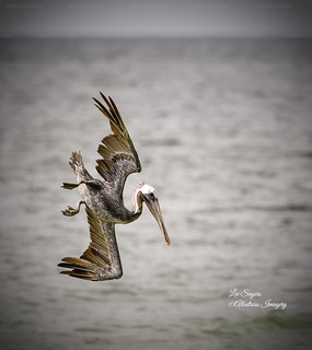 Pelican dive!