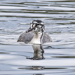 Juvenile Great Crested Grebe (MJ Harbey) Tags: water lake willenlake bird waterfowl miltonkeynes buckinghamshire greatcrestedgrebe juvenilegreatcrestedgrebe grebe podicepscristatus nikon d3300 nikond3300 reflections