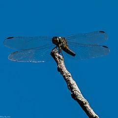 Eastern Pondhawk [Erythemis simplicicollis] (Fred Roe) Tags: nikond810 nikkorafs80400mmf4556ged nature wildlife insect dragonfly easternpondhawk erythemissimplicicollis peacevalleypark