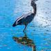 Great Blue Heron in 40 Acre Lake