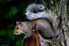 Eastern Gray Squirrel (Anne Ahearne) Tags: wild animal nature wildlife tree gray grey squirrel easterngraysquirrel closeup portrait cute animals