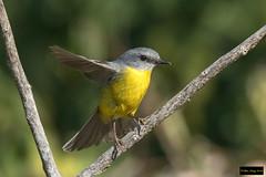 Eastern Yellow Robin (Eopsaltria australis australis) (Dave 2x) Tags: eopsaltriaaustralisaustralis eopsaltriaaustralis eopsaltria easternyellowrobin eastern robin cumberlandforest nsw australia leastconcern