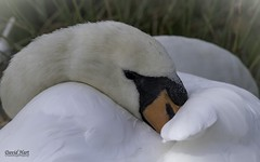 Mute Swan (David R Hart) Tags: davidhart nikond850 afsnikkor200500mmf56edvr muteswan nationaltrust dunhammassey manchester cheshire england waterfowl wildlife nature
