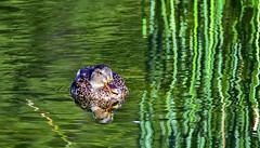 Dame colvert (Diegojack) Tags: vaud suisse sauvabelin d500 plandeau reflets oiseaux canards colvert vertdure herbes joncs