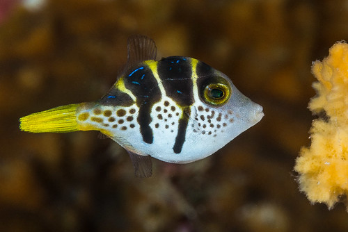 Mimic Filefish, young juvenile - Paraluteres prionurus