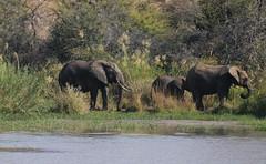En famille sur Olifant River (domiguichard) Tags: nature sauvage afriquedusud elephant
