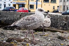 Glaucous Gull (JmiaJ) Tags: ardspeninsula countydown donaghadee irishsea northernireland uk seaside tourism town