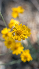 Splash of yellow and guest (Middle aged Nikonite) Tags: yellow flower bug insect macro bokeh close up nikon d750 california ice house nature outdoor plant