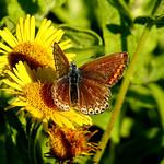 Female Common Blue thumbnail