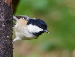 Coal Tit (Periparus ater) - Taken at Barnwell Country Park, Nr Oundle, Northants.UK (Ian J Hicks) Tags: