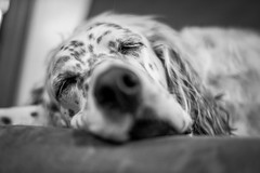 Lady Enjoying a Nap (John Brighenti) Tags: animals sel50f18f sony a7ii a7m2 ilce7m2 photography 50mm setter blackandwhite bw desaturated white black grey dog fur sleeping nose spots eyes rest relax zzz