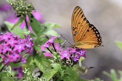 Gulf Fritilary on the Penta (halladaybill) Tags: backyard gulffritillarybutterfly penta orangecounty california lepidoptra nikond850 nikkor80400zoomlens