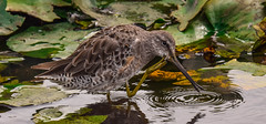 """if I could only remember......."" (wesleybarr1962) Tags: dowitcher longbilleddowitcher limnodromusscolopaceus"