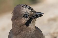 garrulus glandarius (Josep M.Toset) Tags: animalia aus aves d500 catalunya fauna chordata còrvids gaig nikon moixons josepmtoset natura ocells passeriformes lurgell sigma150600mmf563sports