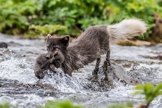 Refur - Arctic Fox - Vulpes lagopus
