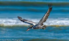 D85_3604 (mylesfox) Tags: pelican flight