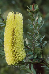 Banksia flower (Malcom Lang) Tags: banksia serrata flower leaves stem branch bush native oldmanbanksia green yellow australia australian aussie