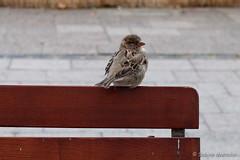 Guten Morgen - ich warte hier auf die Sonne (Sockenhummel) Tags: spatz spatzen vogel sparrow tier berlin bank fuji x30 bird sperling
