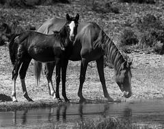 024693763774-105-Wild Horses at Alkali Flat Hot Spring Nevada-6-Black and White (Jim There's things half in shadow and in light) Tags: america mojavedesert southwest usa alkalispringsnevada animal desert goldfield wildanimal wildlife water blackandwhite monochrome mustang