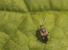 Gemeine Wiesenwanze (Henry der Mops) Tags: mg3760 gemeinewiesenwanze lyguspratensis miridae insekten insects sigma105mmf28exmakrodgoshsm macro makro blätter leaf bug mplez henrydermops canoneos6d natur nature