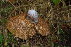 A Roman Snail having a chomp on a Saffron Bolete (favmark1) Tags: snail romansnail saffronbolete mushroom toagstool fungus kent leccinumcrocipodium helixpomatia