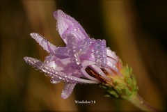 (WendieLarson) Tags: wickedhair wendielou wildflower wildflowers wendielarson wild flower fleurs flowers fiori flora d7000 sierranevada sequoianationalpark summer california color bloom blossom bigmeadows nikon nature nationalparks nationalforest mountains macro meadow aperature landscape landscapes petals pink dewdrop water plant plants outside outdoors