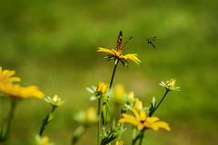 Looks Like Trouble (Modkuse) Tags: blackeyedsusan bes butterfly wasp flowers flower nikon nikondslr nikond700 nature nikon105mmf28macronikkor 105mmf28nikkormacro 105mm 105mmf28nikkor macrolens natural