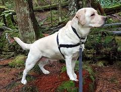 Gracie ever vigilant (walneylad) Tags: gracie dog canine pet puppy cute lab labrador labradorretriever september summer afternoon capilanoriverregionalpark