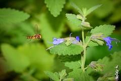 Flight ... (N.Batkhurel) Tags: season autumn insects mongolia macro closeup flower flora ngc nikon nikond5200 natur nikkor 105mm