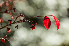 Autumnal emotion (Irina1010) Tags: autumn fall leavesredbrnach berries bush bokeh canon nature coth5 ngc