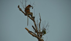 Alpha male proboscis monkey keeping an eye on his group (josepsalabarbany) Tags: borneo kalimantan indonesia jungle wildlife monkey orangutan proboscismonkey nasalislarvatus tanjungputing river riu nationalpark boat klotok barca