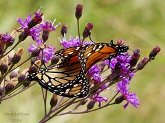 Monarchs_2018.08.15 (2 of 2) (Urutu_From_SW_PA) Tags: