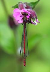 Large Red Damselfly - Pembs Wales -May18 (4) (ailognom2005) Tags: largereddamselfly dragonfliesanddamselflies dragonflies damselfly pembrokeshire insects britishinsects wildlife britishwildlife macro red