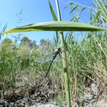 Southern Migrant Hawker (Aeshna affinis) in habitat thumbnail