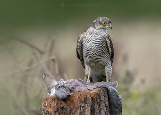 Sparrowhawk with Kill 19th August W