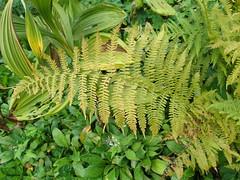 [Woodsiaceae] Athyrium flilix-femina (Frauenfarn, Waldfarn) (pe_ma) Tags: farn fern fougère felce