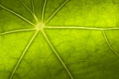 Leaf detail - HMM (Ghazghul) Tags: 105mmf28exdg 105mm sigma105mmf28exdg sigma sb800 macro leaf plant nasturtium detail green mondays macromondays definingbeauty
