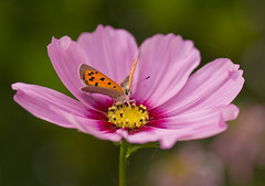 (Red 'N Spots) Tags: kleinevuurvlinder vuurvlinder cosmos pinkcosmos rozecosmos flower flowers garden gardenphotography nature naturephotography macro macrophotography green bokeh nikon tamron insects insect animal animals butterfly butterflies