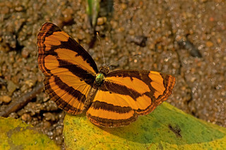 Pantoporia sandaka - the Broad-striped Lascar