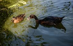 Cayuga conflict (PChamaeleoMH) Tags: birds cayuga cayugaduck clapham claphamcommon ducks london mallards mountpond