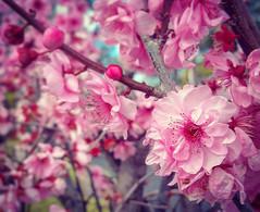 Pretty Cherry Blossoms (missgeok) Tags: cherryblossoms sakura hanami pinkflowers ume pinkblossoms pretty beautiful clusters flowers flowertree dof focus cherryblossomtree nature sydney cherrybrook australia sopretty pink fullbloom filltheframe