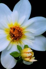 Dahlia and Friend (LHDPhotos) Tags: longwoodgardens dahlia flower bud garden flora plant