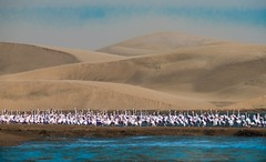 Pink Flamingoes and Sand Dunes (Kitty Kono) Tags: namibia pinkflamingoes flamingoes sanddunes walvisbay southernafrica kittyrileykono