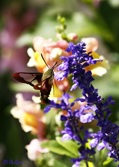 Hummingbird Moth And Summer Flowers (Swift Wings) Tags: moth clearwing hummingbirdmoth nature wildlife bugs wings colours