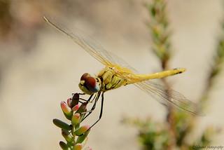 dragonfly5