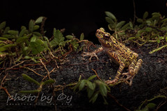 Bornean Rainbow Toad (Ansonia latidisca) (peter soltys) Tags: bornean rainbow toad ansonia latidisca rare endangered peter soltys adventure borneo indonesia herping frog amphibia