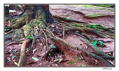 roots (harrypwt) Tags: nigeria abuja harrypwt borders framed green paintinglike samsungs7 s7 tree roots nature abstract