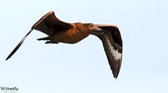 Great Skua flies by (Ted Humphreys Nature) Tags: greatskua skuas predators seabirds raptors birdsofprey tedhumphreysnature