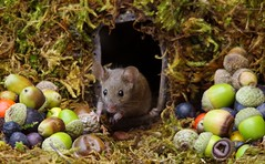 House mouse in a mossy hole with acorns and berry's (3) (Simon Dell Photography) Tags: wild garden house mouse nature animal cute funny fun moss covered log pile acorns nuts berries berrys fuit apple high detail rodent wildlife eye ears door home sheffield ul old english country s12 simon dell photography